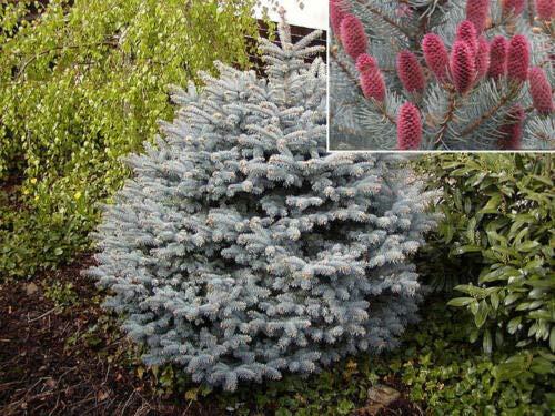 Albero di Natale Abete Argentato Picea Pungens Glauca 'Majestic Blue' in vaso ø18 cm