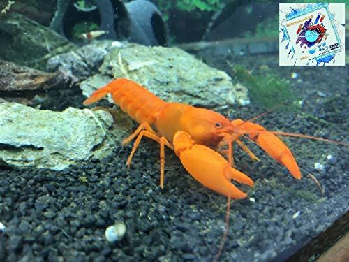 Topbilliger Tiere Aprikosenkrebs - Krebs für`s Aquarium [ Cherax Snowden Irianto Red ]