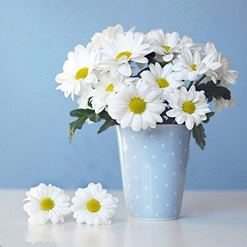 100 graines de marguerite Livingstone Daisy Graines graine fleur jaune variété complète le taux de 95% en herbe Plantes Vivaces 2 Potted
