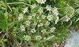 zumari 50 piezas Cicuta maculata WATER HEMLOCK semillas de plantas