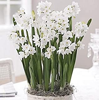 10 Ziva Paperwhites 14-15cm- Indoor Narcissus: Narcissus Tazetta: Nice, Healthy Bulbs for Holiday Forcing!!