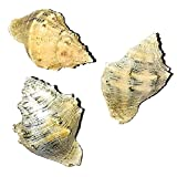"""THE OTHER TIDE Hermit Crab Shells Up-Sizing"""" Medium Seashell Pack 3 Rainbow Conch Shells +1/8' increments (Current Shell Width)"""