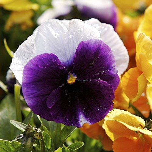 Pensées Lord Beaconsfield Graines - Viola x wittrockiana