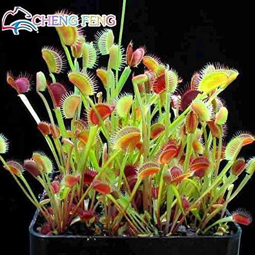 Elitely Auf 50 Stücke Riesen Clip Venusfliegenfalle Samen Topf Insektenfressende Blumensamen Dionaea Samen Für Diy Hausgarten Pi: Blau