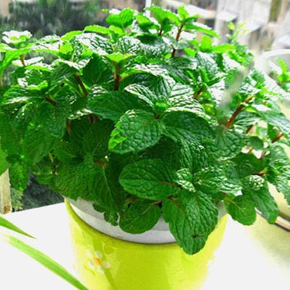 Panago Seeds, 500+ Peppermint Seeds for Garden Planting, Non-GMO Organic Edible Green Mint Seeds