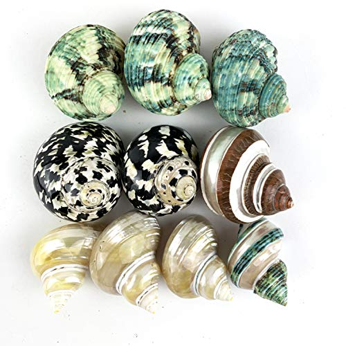Worlds 10pc Assorted Turbo Shell,Hermit Crab Shells 1-1/4'-2-3/4'Inch