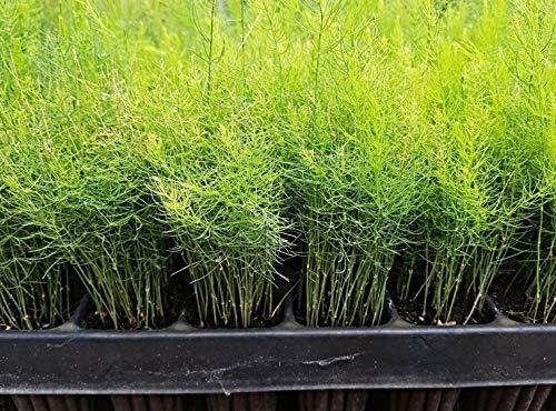 FERRY Bio-Saatgut Nicht nur Pflanzen: 3 x ca. 100 Samen Pflanzen: Spargel Argenteuil, Spargel, aus Frankreich
