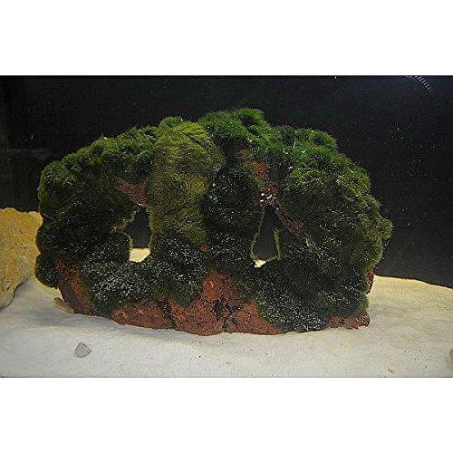 Lavastein mit Moos bewachsen gegen Algen, für kristallklares Wasser, sorgt für ausreichend Sauerstoff