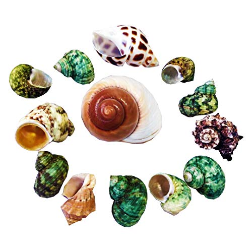 N/D Hermit Crab Shells Turbo Seashell Natural Sea Conch Hermit Crab House for Décor