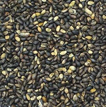 VISA STORE 500 Semilla de la semilla Mugo pino suizo Bonsai paquete de Pinus Mugo