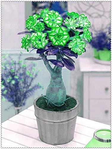 2 pcs/Bag Blue Desert Rose Flower adenium obesum Bonsai Flower Double Petals Potted for Home Garden 100% True : 16