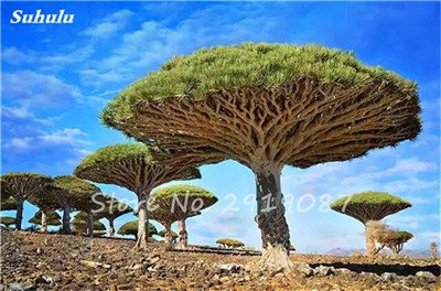 Livraison gratuite 10 Pcs rares Dracaena arbre alpiste Tree Island sang (Dracaena draco) Jardin des plantes voyantes, exotiques 9 Diy
