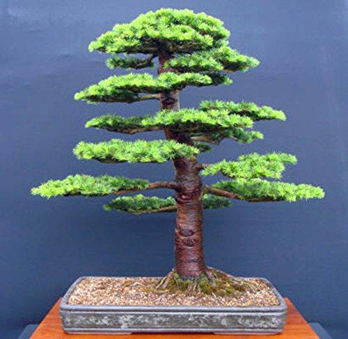 10 pcs/cèdre sac Graines sortes de graines d'arbres bonsaï vert usine de cèdre du Japon pour les plantes ligneuses vivaces droites de jardin à domicile 4