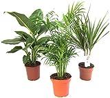 amazon.de pflanzenservice - set di 3 piante da interni, 1x dieffenbachia, 1x chamaedorea 1x dracena marginata, vaso da 10-12cm
