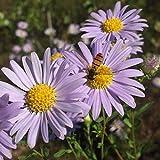 100 semillas de crisantemo, semillas de flores para plantar (estilo 7)