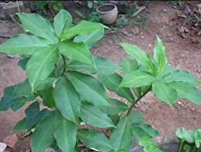 Live Plant Cuttings - Insulin Plant (Costus igneus) 3 Cuttings 7 Inch long