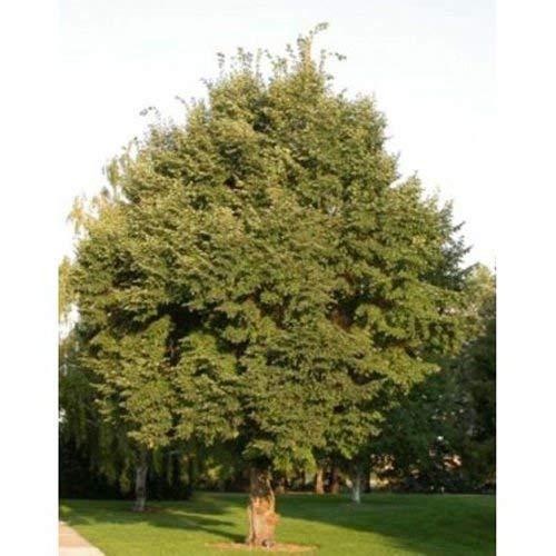 5 Samen von Tilia cordata Littleleaf Lindenbaum