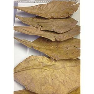 50-Stck-XXL-150-Grammca30cm-Seemandelbaumbltter-original-A-Markenware-von-SMJS-Cambodia-BLITZVERSAND-Seemandellaub-Catappa-Leaves
