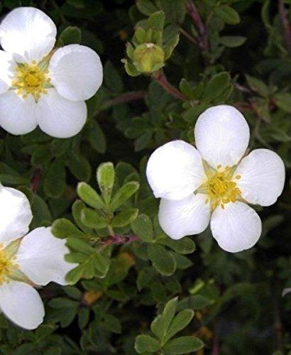Potentilla fruticosa Abbotswood - Fingerstrauch Abbotswood - Fünffingerstrauch -
