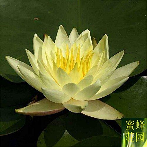 Promotion d'été Offre Spéciale Exclus régulier Embellir Tempéré Mini plantes aquatiques Eau Graines Céleri petites graines 5 jaune