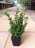 10 x Buxus Sempervirens 25-35cm in 1 Litre Pot (a265)