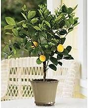 Dwarf Meyer Lemon Tree - Potted