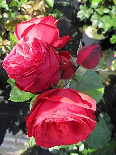 Edelrose Piano® - Rosa Piano® -...