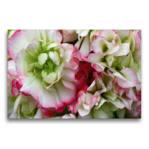 Premium Textil-Leinwand 75 x 50 cm Quer-Format Pelargonie Rosebud Appleblossom | Wandbild, HD-Bild auf Keilrahmen, Fertigbild auf hochwertigem Vlies, Leinwanddruck von Martina Cross