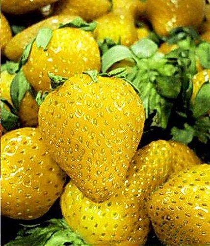vente chaude Rare COLOR MIX Strawberry Graines Outdoor Juicy Bonsai pot Balcon fruits Plantons pour 500pcs Décor de jardin/sac 10