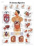 3B Scientific VR4422UU il Sistema Digestivo