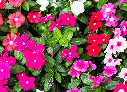 Vente! Livraison gratuite 100 graines pervenche, Mix Couleur Vinca (Catharanthus roseus), une couverture bancaire parfaite derrière votre maison, evergr