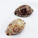 ZJSXIA Tesoro Raro Shell Shell cáscara Natural de Concha Regalo Una Variedad de Caracoles del Tesoro Colección de Caracoles Adornos de especímenes Caracoles de mar (Color : Free, Size : Dark Khaki)