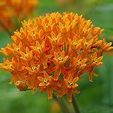 6 x Asclepias Tuberosa - Butterfly Flower - Pot 9 cm x9 cm