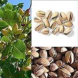 5 Pistacho árbol Pistacia Vera Frutos Rojos Flores Semillas Combinado