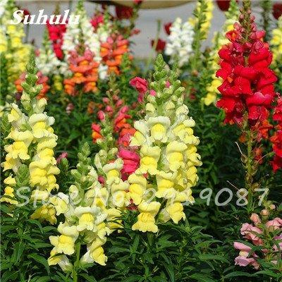 Muflier Majus Graines nain commun Multi Color Flower snap Jardinerie Accueil Bonsai Plantes en pot Planter 120 Pcs 2