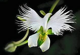 Dove/Egret Flower showy/rare, White(5 seeds)