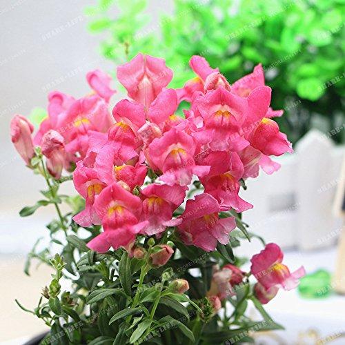 100 Pcs muflier Majus Graines Mixte nain Couleur commune snap Graines de fleurs Jardin Accueil Plantes Bonsai pot So Beautiful 6