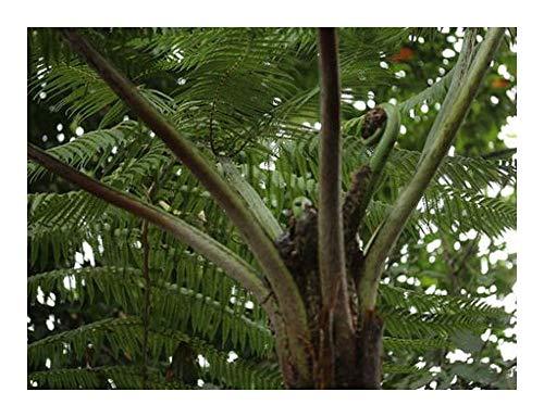 Cyathea caracasana - fougère arborescente - 10 graines