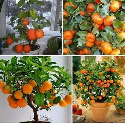 20 Mini DrawF comestible orange en pot Bonsai Seeds-- fruits, Tangerine Citrus facile -growing