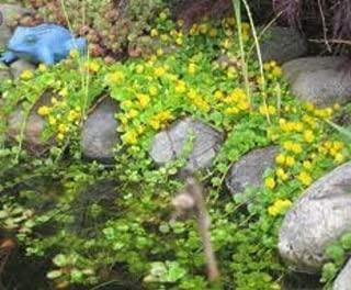 25 Creeping Jenny Moneywort Pond/Aquatic Rooted Starter Plants CT Watergarden #sg42019