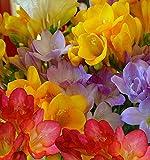 Bulbi da Fiore ALTA QUALITA' per fioritura PRIMAVERILE - ESTIVA - AUTUNNALE (10, Fresie in Miscuglio)