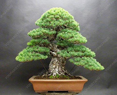 50 Pieces/Lot pin Graines de bonsaïs pin noir arbre Graines Plantes en pot japonais Pin Livraison gratuite
