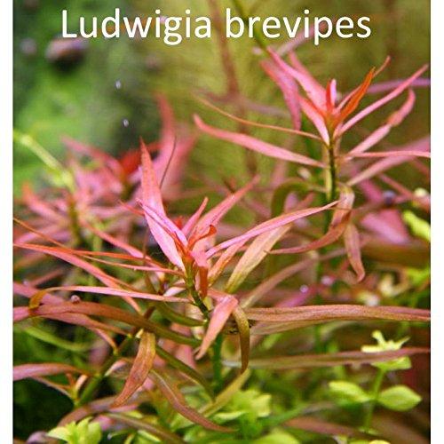Aquarium Fan Ludwigia Brevipes - x3 Bund