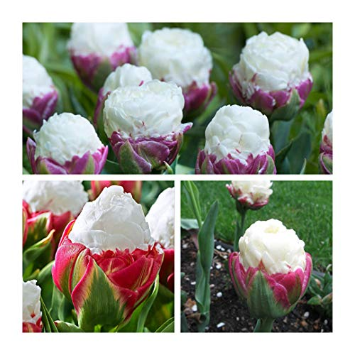 Humphreys Garden Ice Cream Tulip Tulipe x 10 Bulbes Size 11/12