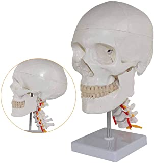 YXZQ Human Anatomy Skull Model- Human Anatomy Science Models Medical Teaching Cervical Nerve Skeleton Aid,Pvc Material Bio...
