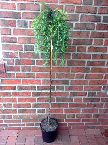 Lärchen-Stamm, Höhe: 150-160 cm, grüne-bläuliche Nadeln, Larix decidua Puli + Dünger