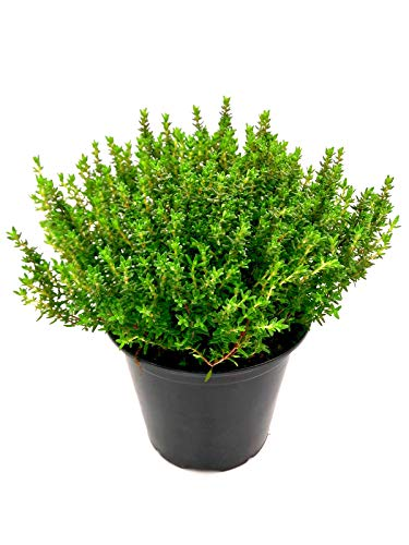 Xl Thymian Pflanze, Thymus vulgaris Kräuter Pflanze 1stk
