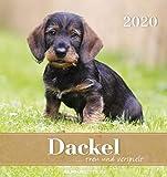 Dackel 2020 - Postkartenkalender (16 x 17) - Hunde - Dachshund - Dogs - zum aufstellen oder aufhängen - Geschenkidee - Tierkalender - Gadget