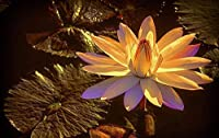 1000ピース ジグソーパズル木製プレプリントパターン夜に輝く睡蓮ジグソーパズル 1000ピース 絵画 大人 子 向け 木製パズルDIY家の装飾、パズルゲーム、減圧教育ギフト75x50 cm(8歳以上に適しています)