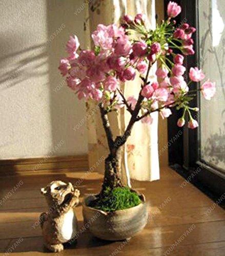 10 pcs mini Bonsaï japonais Sakura, Graines Bonsai Fleur de cerisier Accueil Graden Décoration Livraison gratuite Red